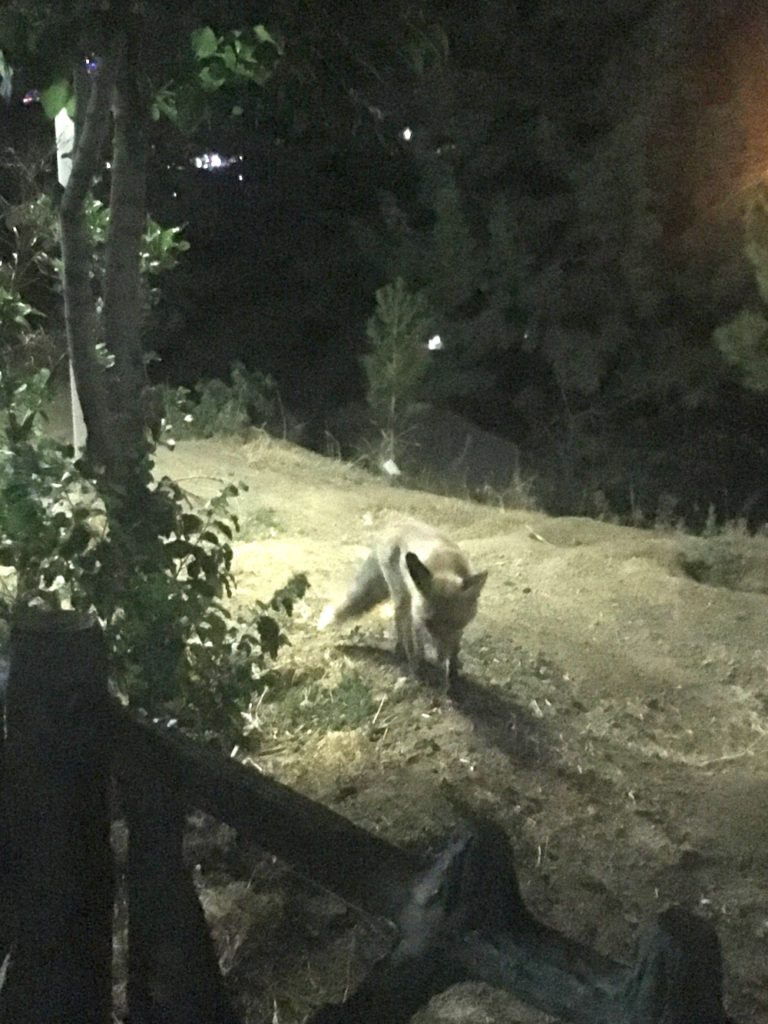 Teheran Tochal Fuchs Fox