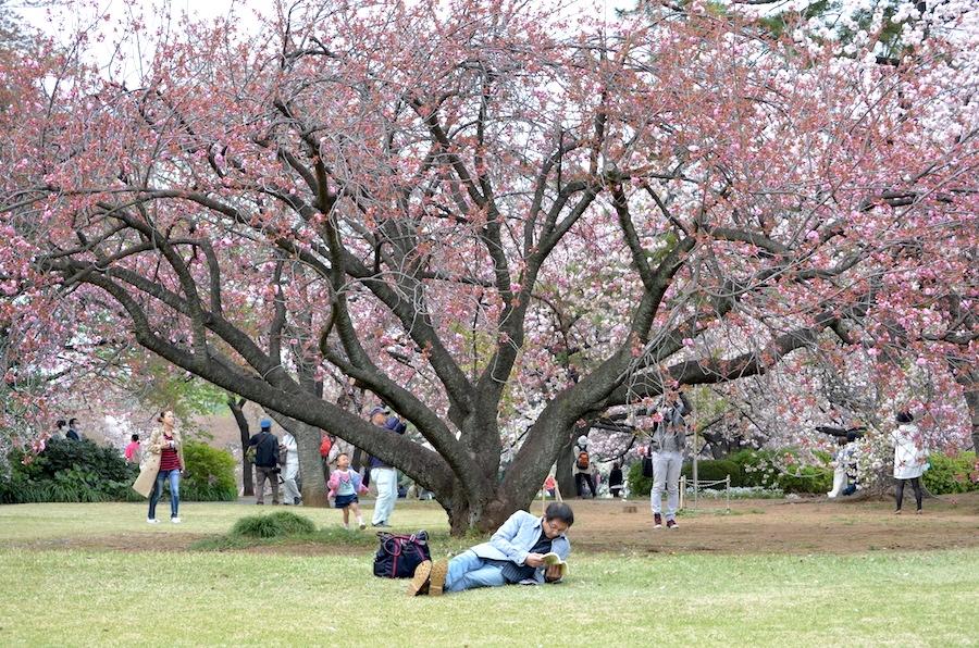 Japanische Kirschblüte Kirschblütenzeit Tokio cherry blossom